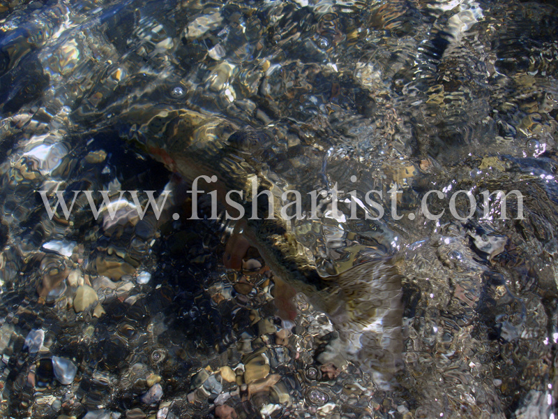 Camouflage Taupo Trout. - Trout Fishing - Taupo New Zealand.