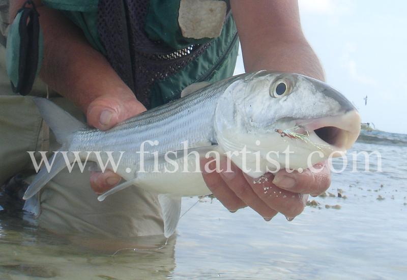 Bonefish Photo - Torpedo. - Bonefish & Tarpon.
