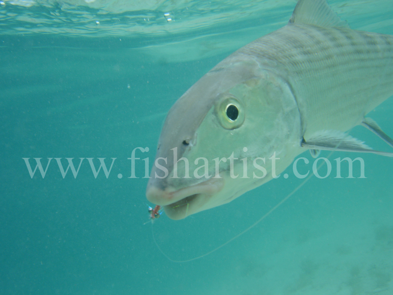 Bonefish Photo - Underwater bonefish and Fly. - Bonefish & Tarpon.