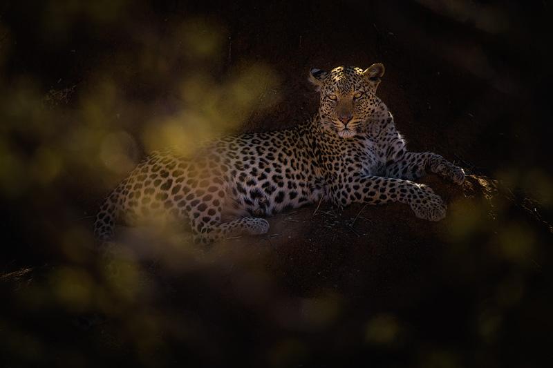Leopard - Portfolio