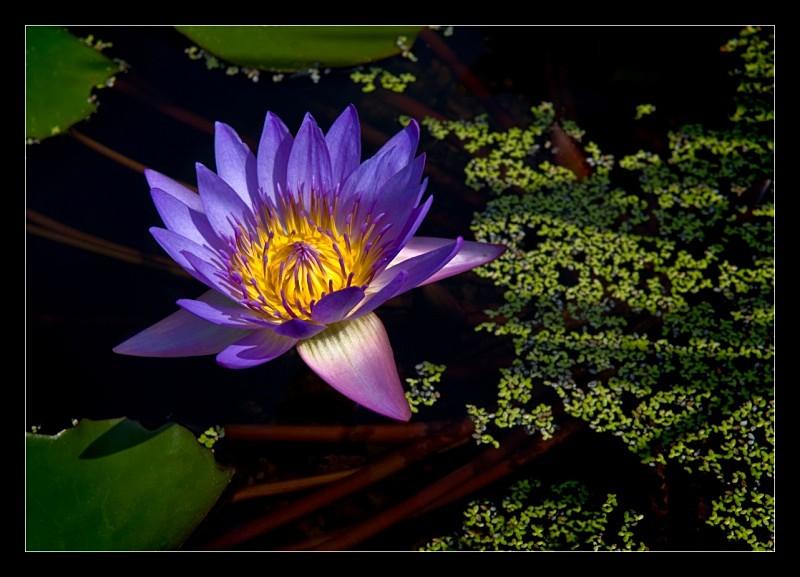 Purple Radiance - Nature