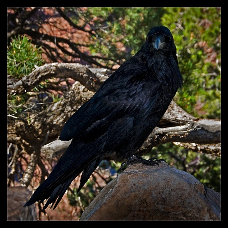 Grand Canyon Raven - Nature