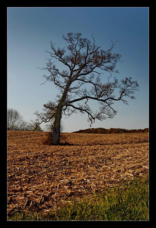 Cornfield Tree - Landscapes