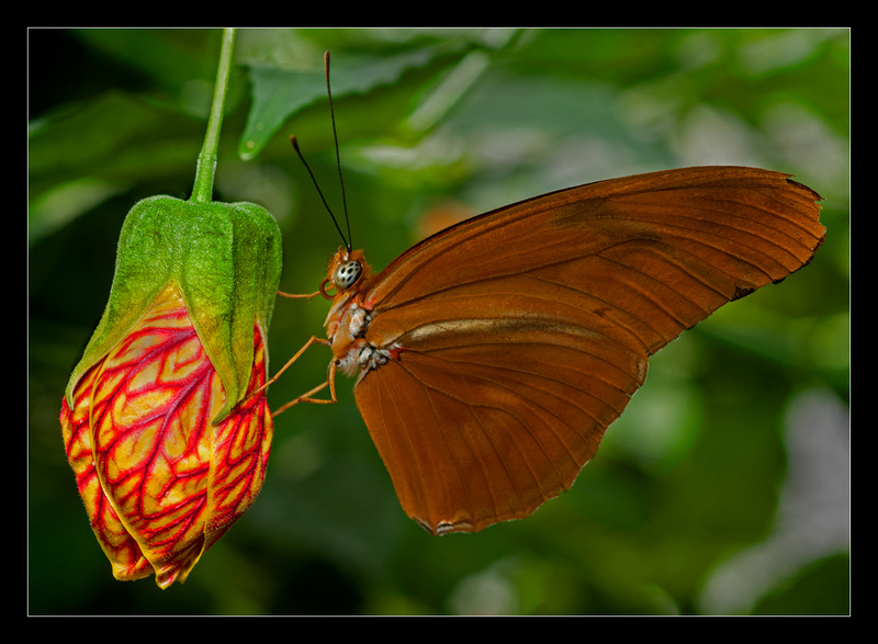 Julia Longwing Butterfly - Nature