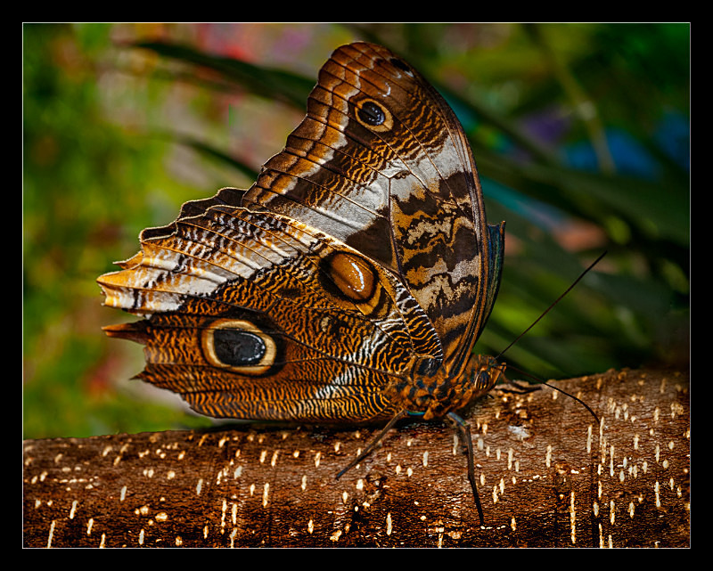 Mournful Owl Butterfly - Nature