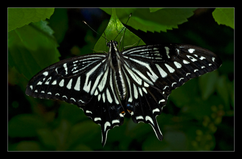 Asian Swallowtail - Nature