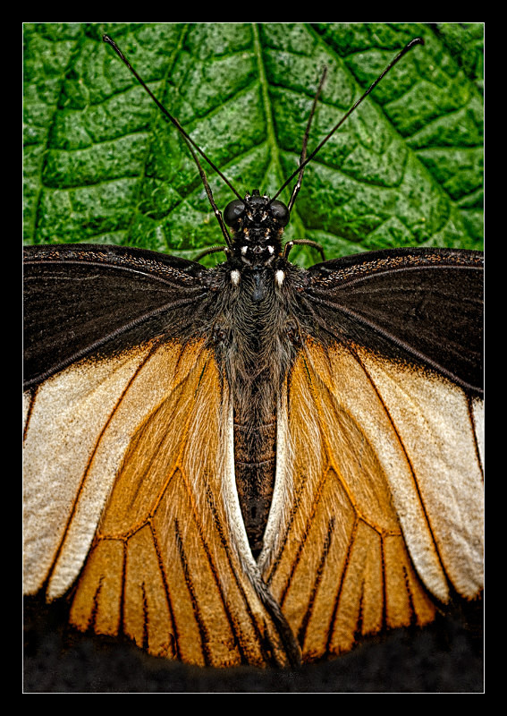 Doris Longwing Butterfly - Nature