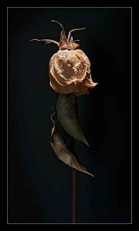 Dry Rose - Nature