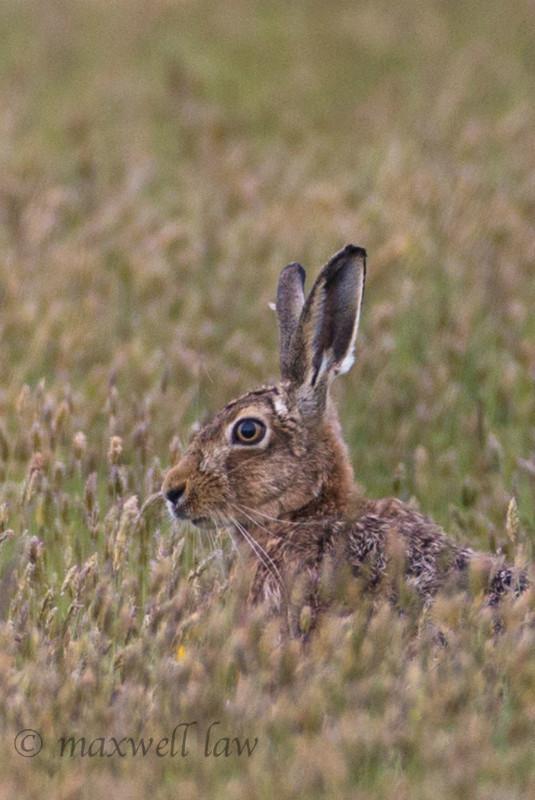 Orkney Hare - Wildlife