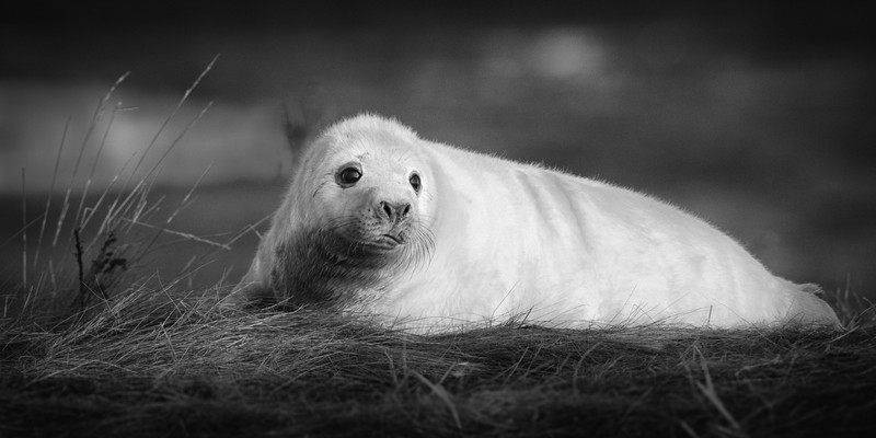 Seal - Wildlife