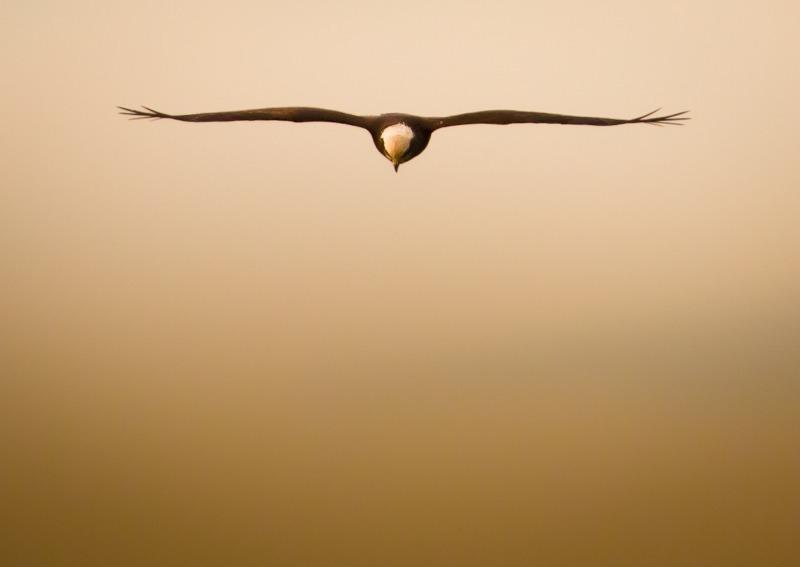 Marsh Harrier 4-2056 - Birds of Prey and Owls