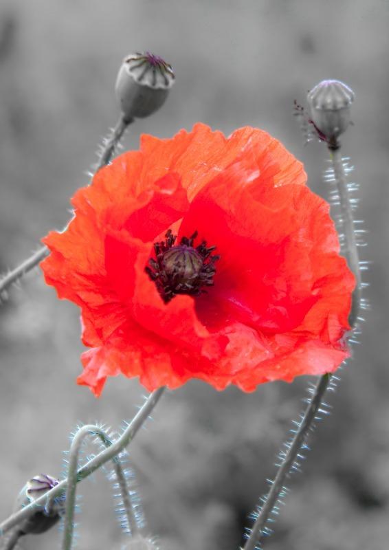 Poppy in Norfolk-8425 - Plants / Flora