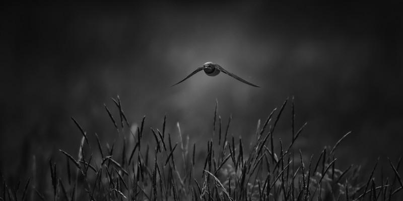 Swallow mono - Wildlife