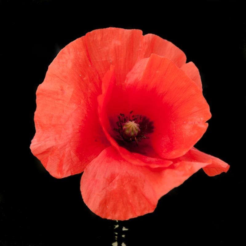 Poppy 2-9031 - Plants / Flora