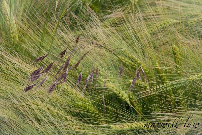 Day 5 Cornfields - Plants / Flora
