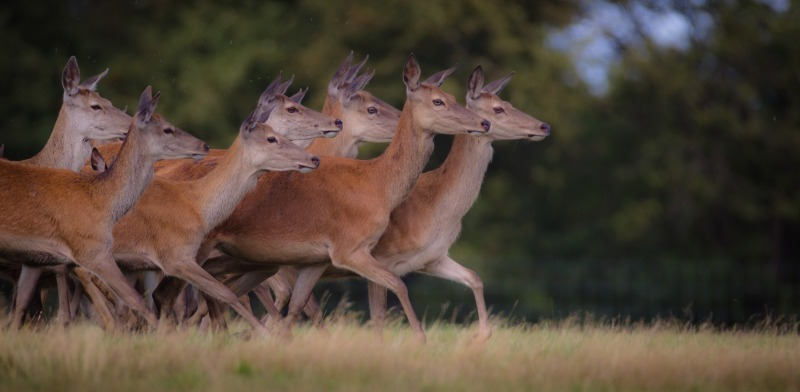 Deer at knebworth 2-6596 - Wildlife