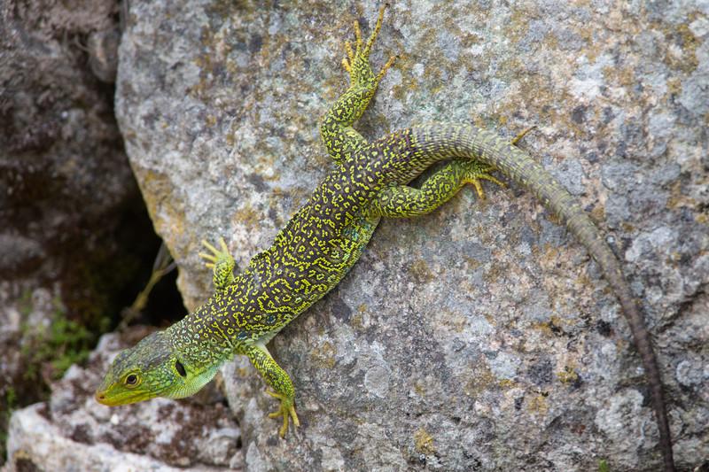 Oscellated Lizard http---wwwarkiveorg-ocellated-lizard-timon-lepidus- - Wildlife