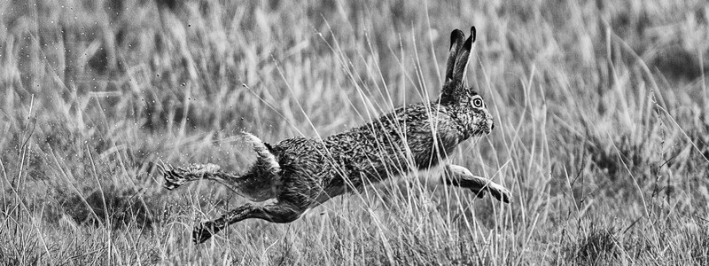 Hare mono-2 - Wildlife