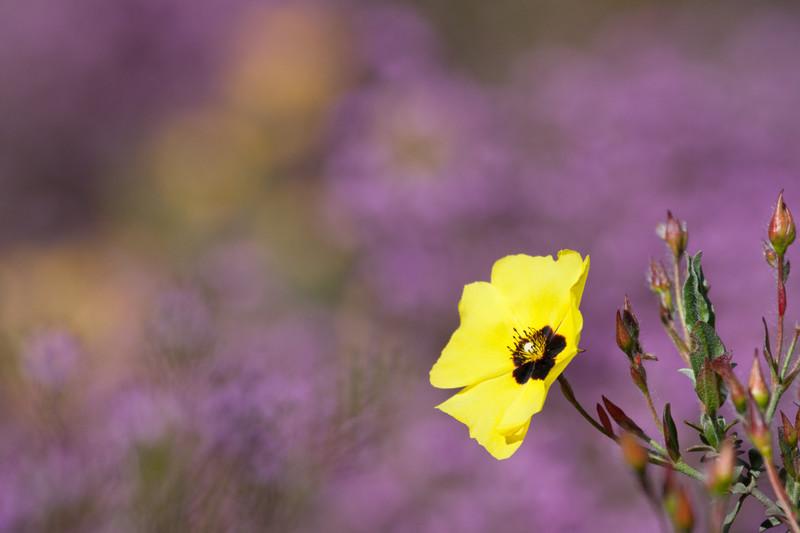 Yellow Rock Rose Perhaps - Plants / Flora
