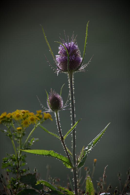 thistle - Plants / Flora