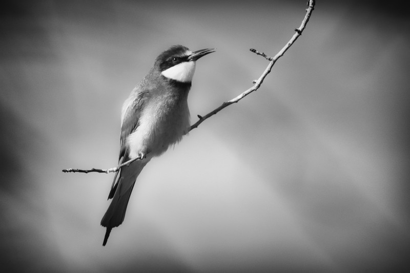 Bee Eater - Wildlife