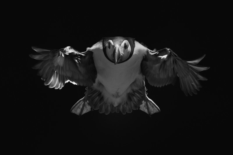 Puffin mono-3 - Wildlife