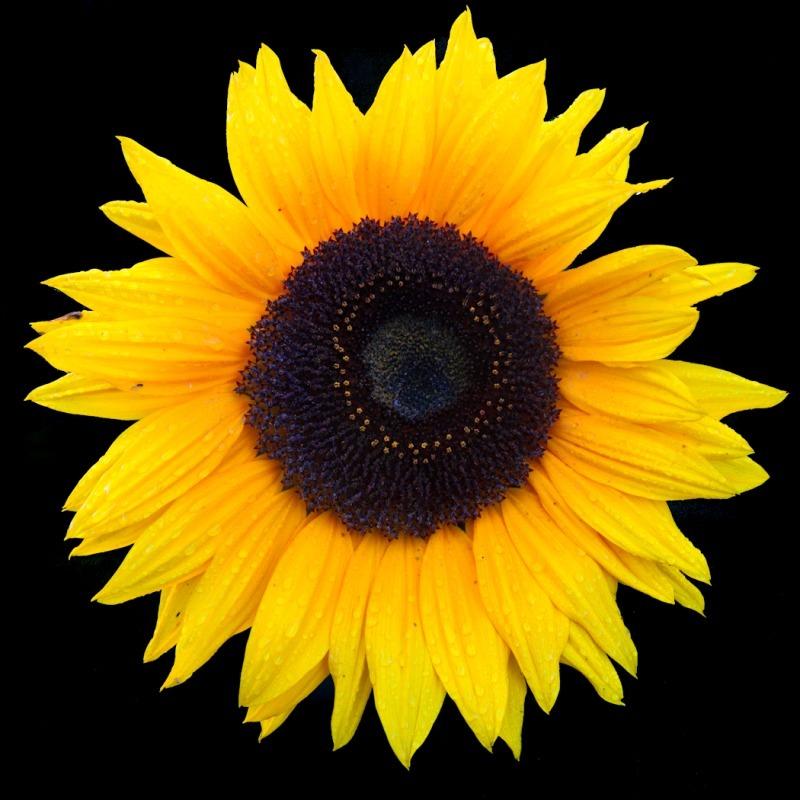 Sunflower Oct 3-8922 - Plants / Flora