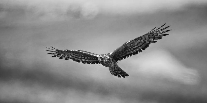 Hen Harrier - Wildlife