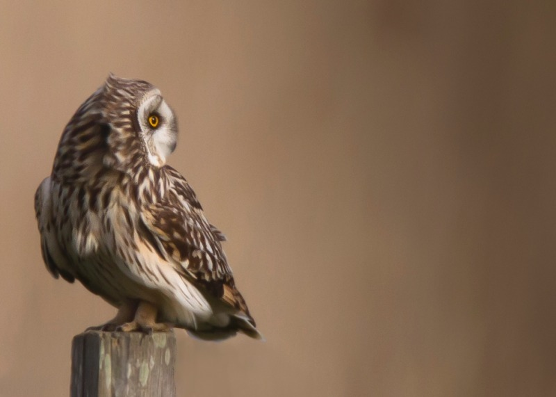 Short Eared Owl-2 - Birds of Prey and Owls