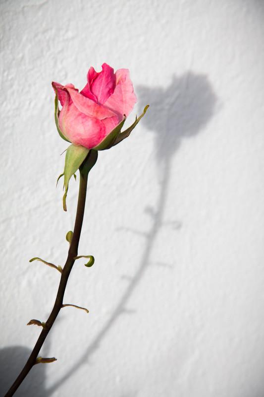 Rose - Plants / Flora