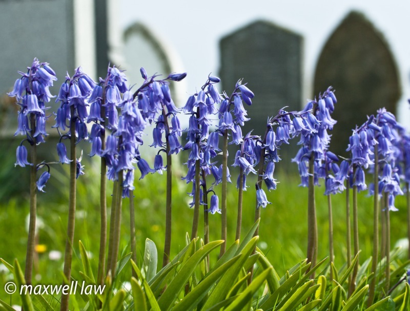 Bluebells in Churchyard-9841 - Plants / Flora