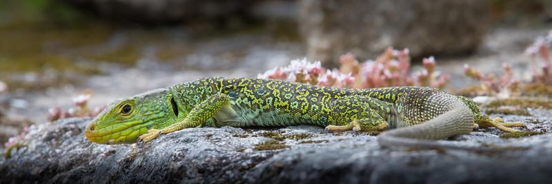 Oscillated Lizard - Wildlife