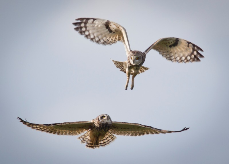 Short Eared Owls-3 - Birds of Prey and Owls