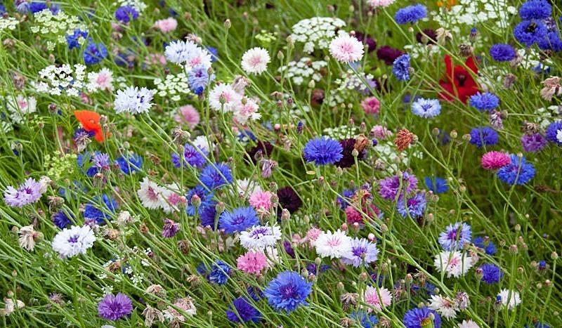 Wildflower Meadow - Garden & Flower Portraits
