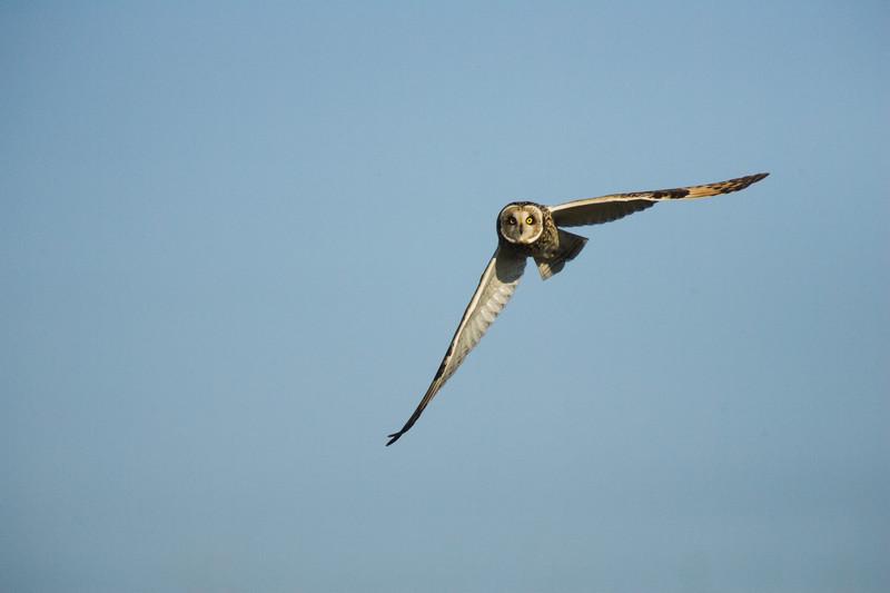 short eared owl, kent