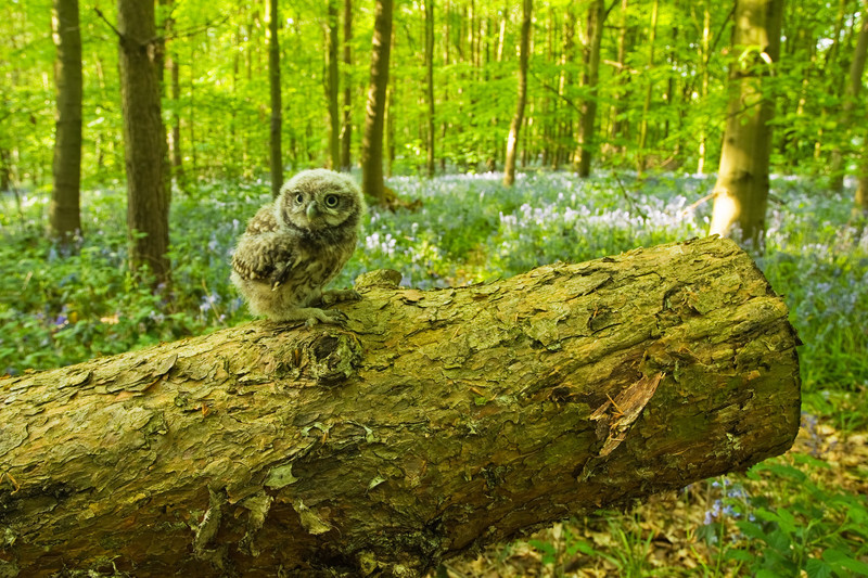 a young little owl in a bluebell wood, nottinghamshire, sherwood forest