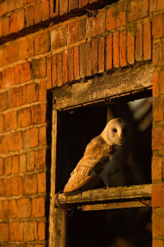 a barn owl in a barn, lincolnshire