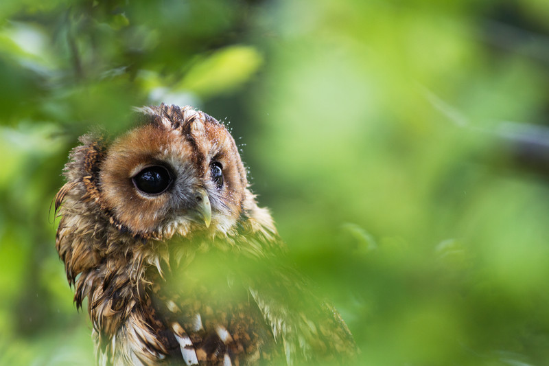 Tawny Owl - Wildlife Photography.