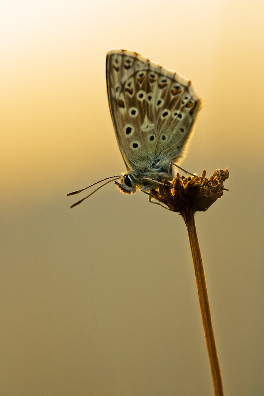 common blue, kent, macro photography