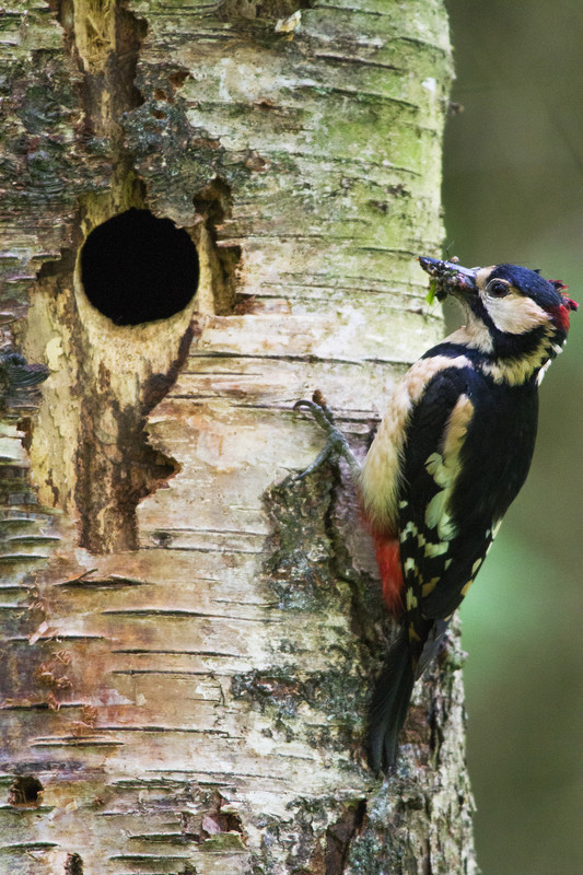 A single great spotted woodpecker