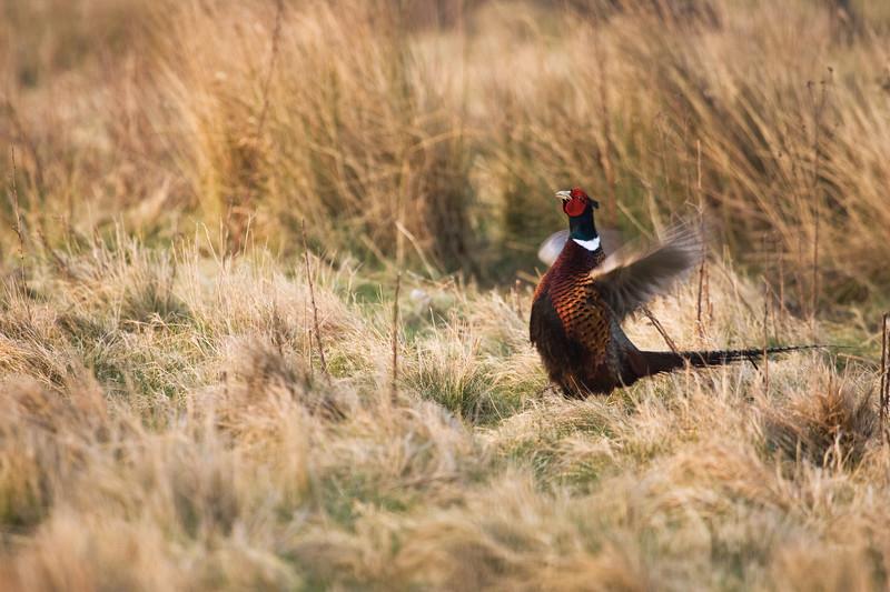 pheasant in season, norfolk.