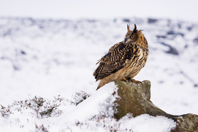 Eurasian eagle owl, bowland forest