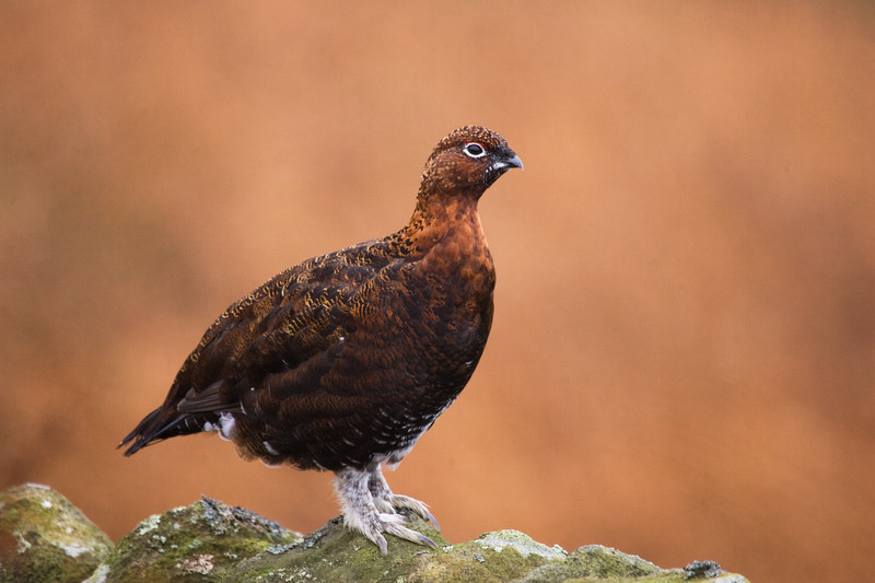 grouse on the peak district