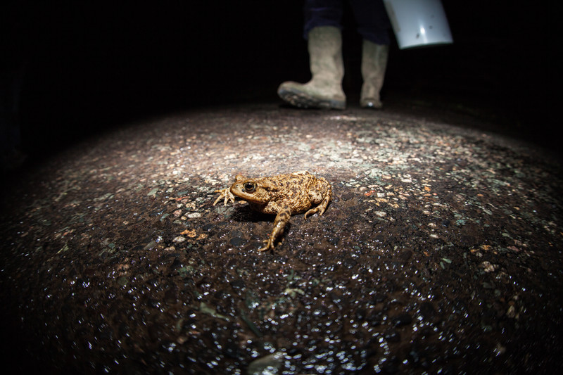 toad in the road, kent
