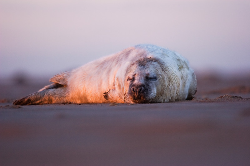 grey seal pup, donna nook, lincolnshire