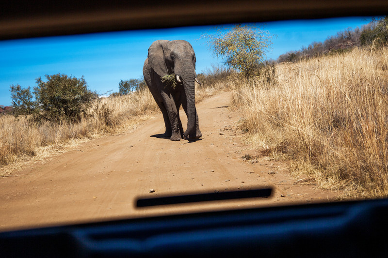 a roaming elephant at pilansberg, south africa