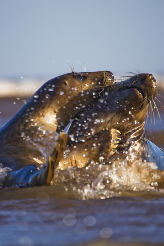 grey seals fighting, donna nook, lincolnshire, raging bull