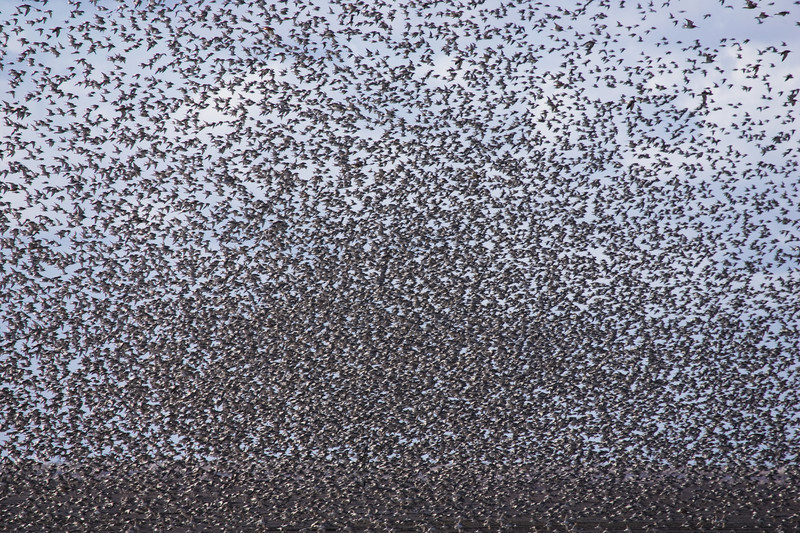a flock of knot over the wash, Norfolk.