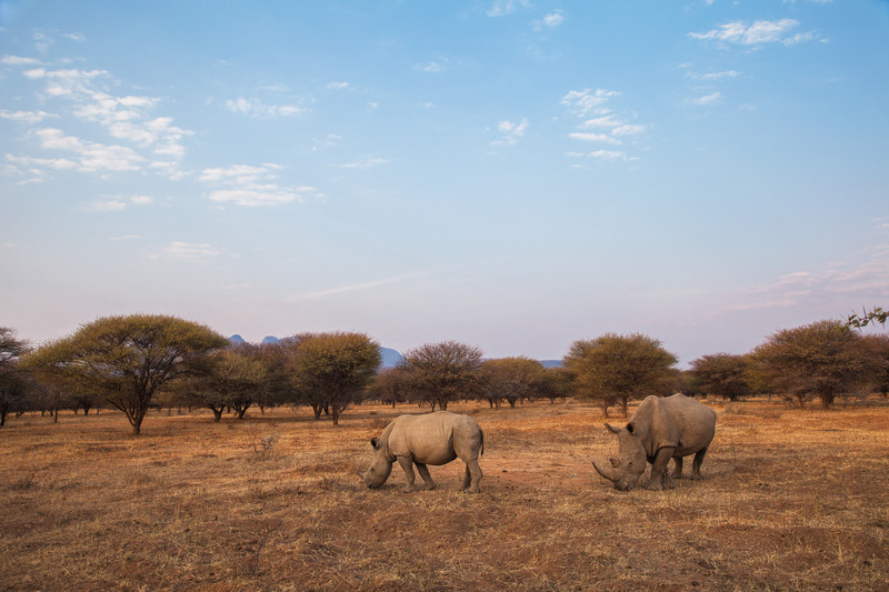 Rhinos Of South Africa