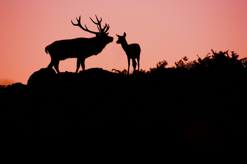mating stag, Leicestershire.